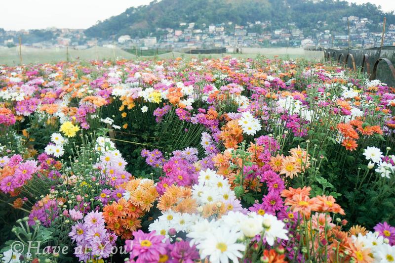 flowers in Baguio