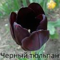 Черный тюльпан, Александр Дюма icon