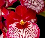 Tygerberg Orchid Society Autum Show : Tyger Valley Centre