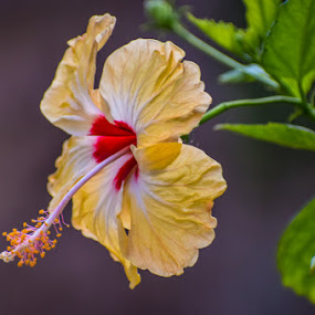 Hibiscus by Rahul Manoj - Novices Only Flowers & Plants ( red, green, yellow, leaves, flower )