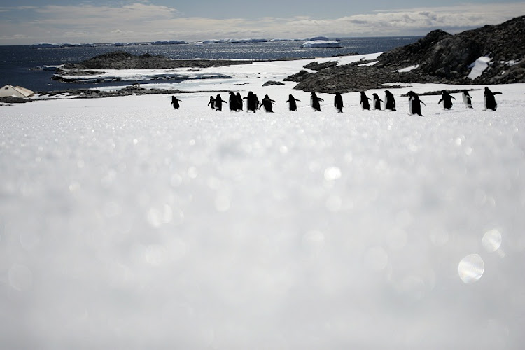 Adelie penguins walk on the ice at Cape Denison, Commonwealth Bay, East Antarctica.   Picture: REUTERS