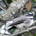 Grey Fantail