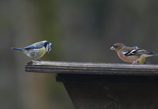Photo: Blue Tit and Chaffinch Brock Bottoms 25.02.2011