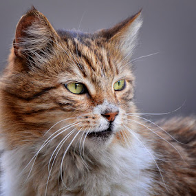 by Ivan Ivanov - Animals - Cats Portraits ( cats, cat, cat eyes, animal,  )