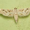 Hydrilla leafcutter moth