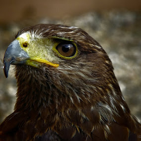 Captain Beaky by Dean Thorpe - Animals Birds ( bird of prey, beak, close up, birds, eyes )