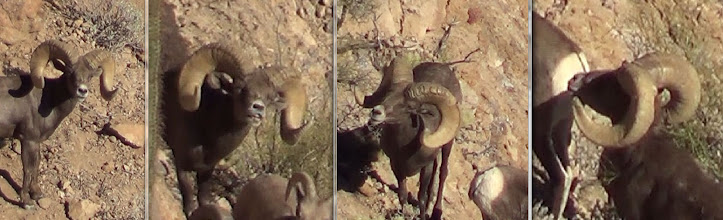 Photo: Live Pics by Jay Scott- Ernie Meeske's Desert Bighorn Sheep Hunt in AZ Unit 22 with Jay Scott.  Ernie's ram was AZ Game and Fish checkout score was 187 6/8 Gross and 186 5/8 Net.  The ram has 16 4/8 bases and his long horn is 38 5/8.
