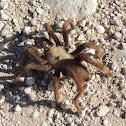 Desert Tarantula