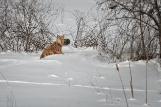 Photo: Coyote resting in deep snow.