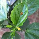 Harlequin Ladybug/Halloween Lady Beetle
