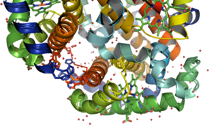 Photo: (2) behaviour of a natural haemoglobin and a mutant variant in the central cavity close to the 2,3-diphosphoglycerate pocket 4L7Y-D a band migrating in the Hb F dynamic-position-PDB: rasmol_php (DiseaseE6K_33930165_F_[solvent-nonbonded spheres] 4L7Y-D ) and its reactions with 2,3-DPG and inositol hexaphosphate-PMID: 6526653: accounts for the reduced oxygen affinity of haemoglobin; by the oppositely charged side-chains residue that project into or are missing in the heme pocket, and result in a thalassemic and/or hemolytic -like phenotype the result of decreased alpha 1 beta 1 interactions.