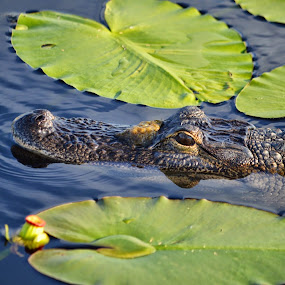 Lolly pad Gator by Colleen Rohrbaugh - Uncategorized All Uncategorized ( animals )