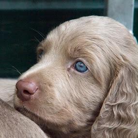 Dog 5 by BertJan Niezing - Animals - Dogs Puppies ( weimaraner, sweet, pup, dog, young )