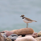 Chorlitejo chico (Little ringed plover)