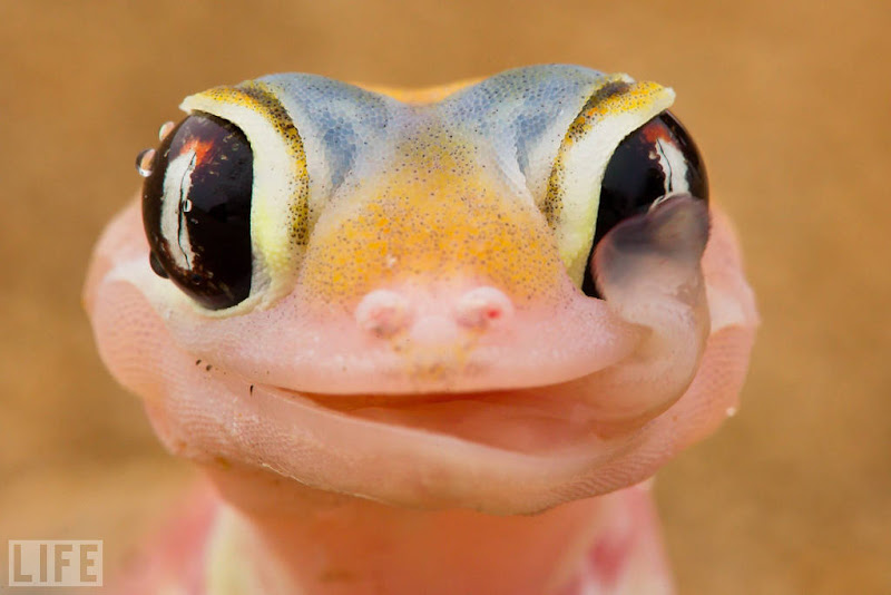 Photo: A rare, nocturnal web-footed gecko wipes the morning dew from its eyes in the Namibian desert. These geckos collect water on their eyeballs in the early morning; later, they lick it off to have a drink. Photo: National News/Zumapress.com Jul 07, 2011