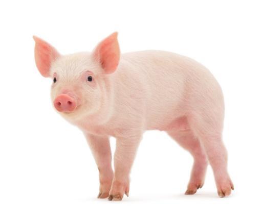 Znalezione obrazy dla zapytania: świnia obrazek