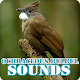 Download Ochraceous Bulbul Bird Sounds Collection For PC Windows and Mac