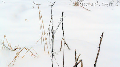 Photo: Some dead grass frozen over.