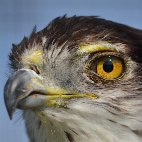 by Paul Murray - Animals Birds ( falcon,  )