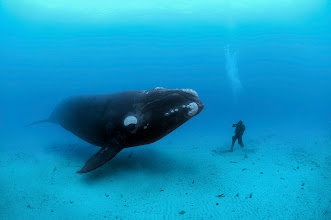Photo: Brian Skerry and the Whale   more info  http://ngm.nationalgeographic.com/2008/10/right-whales/skerry-field-notes