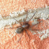 Funnel Weaver Spider, female