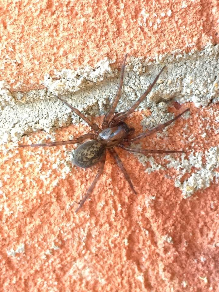Funnel Weaver Spider, female