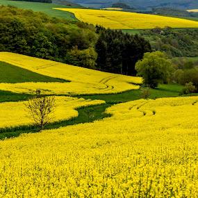 Mellow Yellow by John Crongeyer - Landscapes Prairies, Meadows & Fields ( countryside, field, peaceful, meadow, farmland, bloom, yellow, landscape )