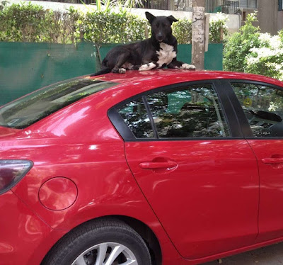 Dog Sleeping on a Car in Cairo Egypt