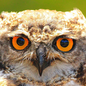 Eyes by Johann Fouche - Animals Birds ( bird, piercing eyes, dedicated, owl, raptor, raptors,  )