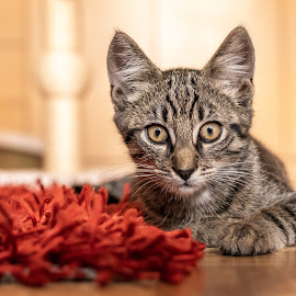 King on red carpet by Andrej Kozelj - Animals - Cats Portraits ( kitten, cat, animal, animals, tiger, pet )