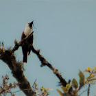 Three wattled bell bird