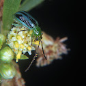 Rootworm beetle