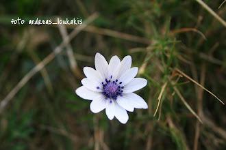 Photo: ΑΝΕΜΩΝΗ Η ΚΗΠΑΙΑ anemone hortensis ΘΡΙΠΤΗ