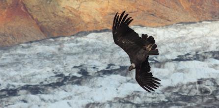 Photo: Condor