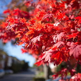 Fall is here by Ralph Sobanski - Nature Up Close Trees & Bushes ( japanese maple, red, tree, autumn, fall, vibrant, maple )