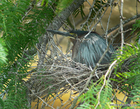 Photo: Green Heron nesting at the King Ranch, Kingsville, Texas