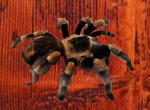 ArachnoSmash Free