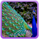 Peacock Wallpaper Gallery Download for PC Windows 10/8/7