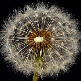 Dandy by Roger Fanner - Nature Up Close Other plants ( black background, dandelion, roger fanner, background blur, close up )