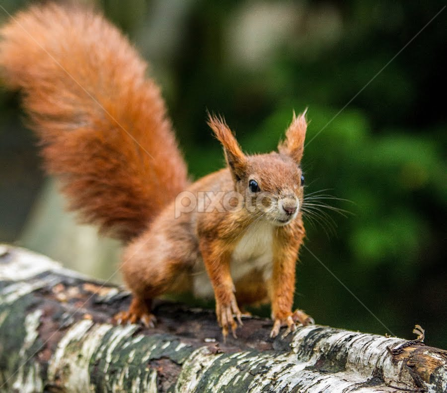 Squirrel by Garry Chisholm - Animals Other Mammals ( nature, mammal, red squirrel, rodent, garry chisholm )