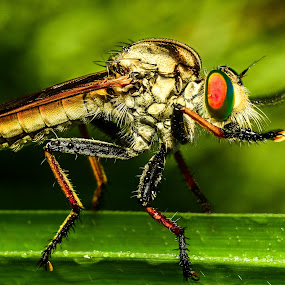 Robber Fly by Shohibul Huda - Animals Insects & Spiders ( macrophotography, macro photography, fly, indonesia, insect, robber, robber fly, robberfly, animal )
