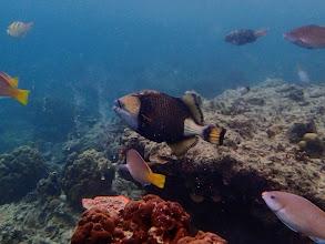Photo: Balistoides viridescens (Titan Triggerfish), Miniloc Island Resort reef, Palawan, Philippines.