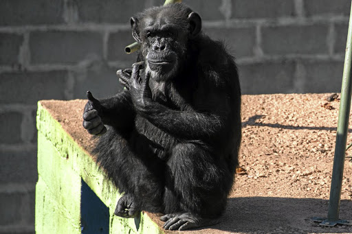 SAFE MY MATECecilia the chimpanzee at the Sorocaba Great Primates sanctuary for mistreated zoo and circus animals near S�o Paulo, Brazil Picture: NELSON ALMEIDA/AFP