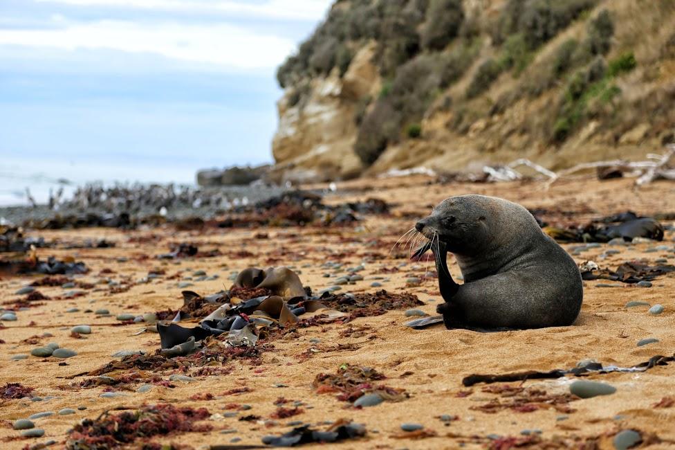 Plaża z uchatką - Nowa Zelandia