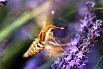 """Photo: FLOU ! Le SPHINX LIVOURNIEN - Hyles livornica - en vol """"stationnaire""""...ce papillon vole très vite d'une manière saccadée et ne reste en place qu'une petite seconde. Sur fleur de thym. Je ne l'ai entrevu qu'une seule fois ."""