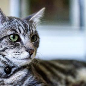 KitKat by Melanie Pond - Animals - Cats Portraits ( cats, kitten, cat, cat portrait, kittens, catsofinstagram, feline, felines )