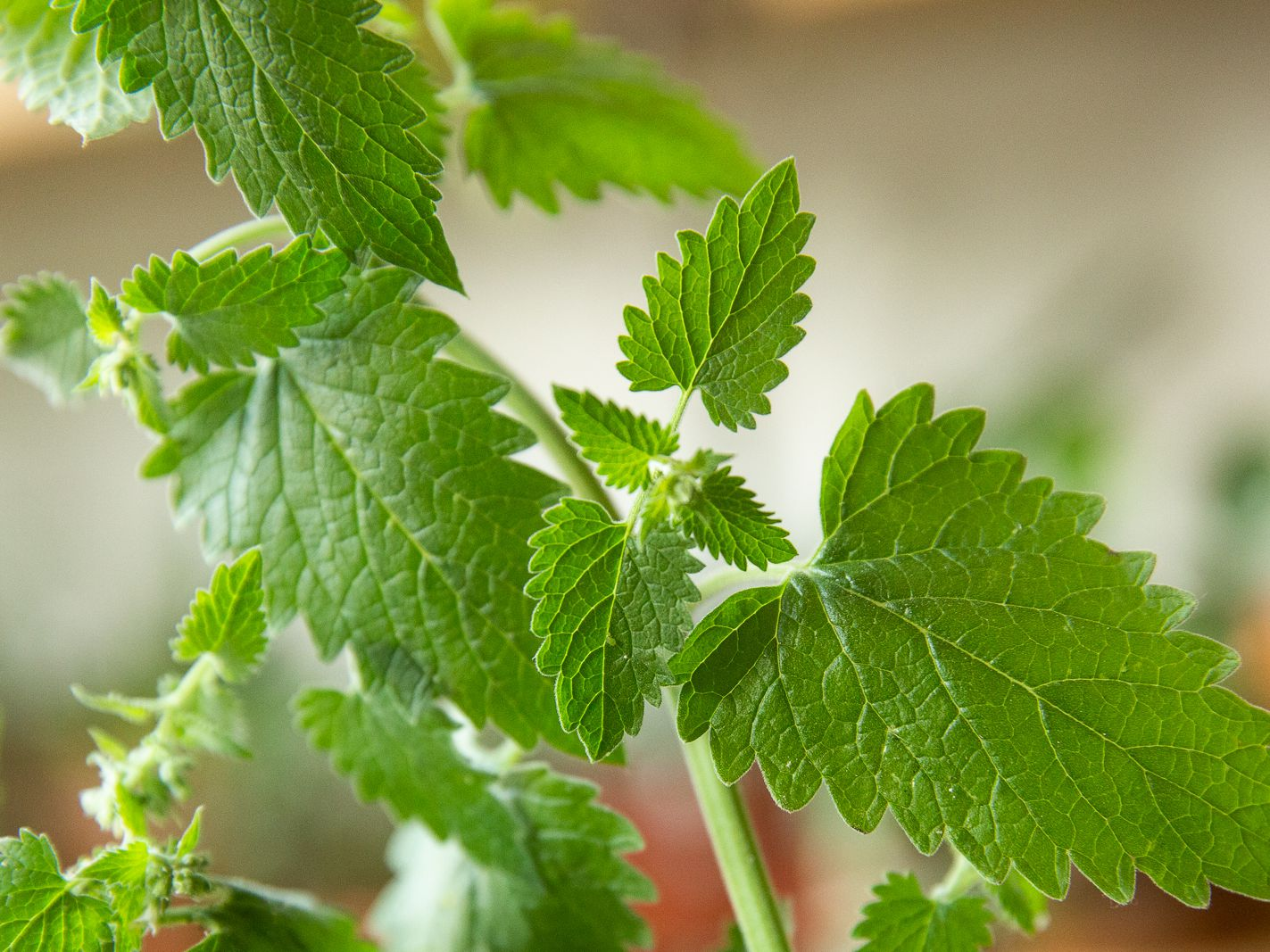 Herbs for Dogs Catnip
