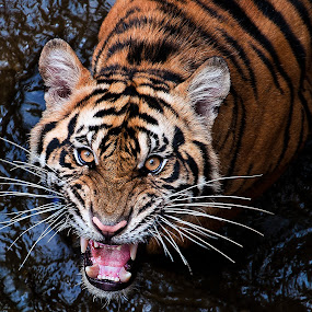 by Robert Cinega - Animals Lions, Tigers & Big Cats