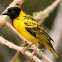 African Birds Sounds icon