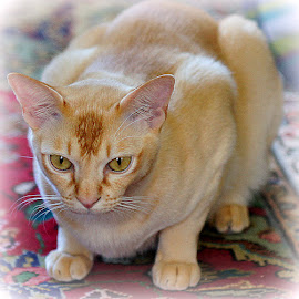Tom by Caroline Beaumont - Animals - Cats Portraits ( orange cat, pedigree cat, red burmese cat, ginger cat, red cat )